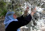 Harvesting_olives